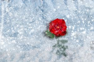 Red Rose in Winter by Elle-Arden