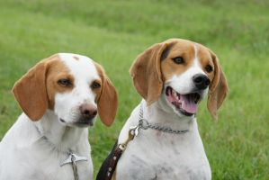 My two beagles. by felyaneNkastyelle