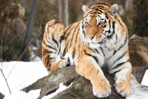 Snow Tiger by Karelliann