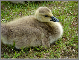 Little gosling resting by Mogrianne