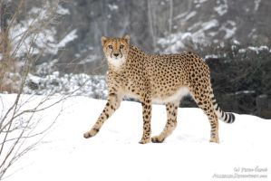 You've never seen a cheetah on snow or wut? by Allerlei