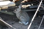 Cottontail Rabbit by ShadowKnight508