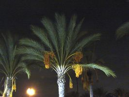 Date Palm at Night by Synaptica