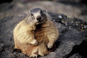 Fat marmot by edelweiss26