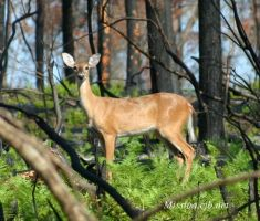 Another Wild Doe by Aries18o18