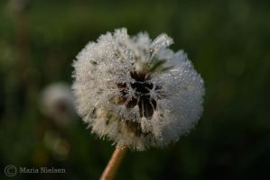Dandelion with waterdrops by Moonbird9