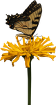 Yellow Zinnia and Butterfly PNG by Thy-Darkest-Hour