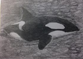 Orca/Killer Whale by UltraAshy