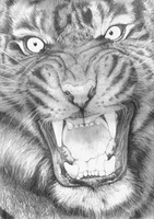 Snarling Tiger SKETCH by Yankeestyle94