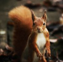 Red Squirrel by ElreniaGreenleaf