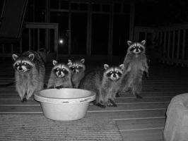 Racoon party by vivisoupay