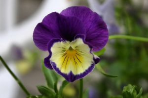 Viola by digitalpix4all