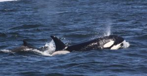 Transient Orcas 0410112 by OrcinusPacifica