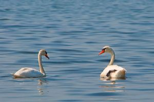 White swans by VitaShuba
