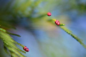 Early Spring buds by Carryn
