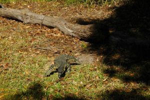 2014-kondalilla-goanna3 by tbg-stock-images