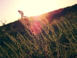 Field at Sunset Wallpaper by colleenchiquita