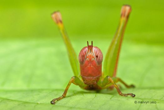 Red face Hopper - Kubah by melvynyeo