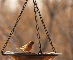 House-Finch - 3 by mudyfrog