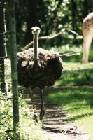 curious ostrich by justinaversano