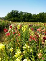 Colorfull Field of Flowers 7 by FairieGoodMother