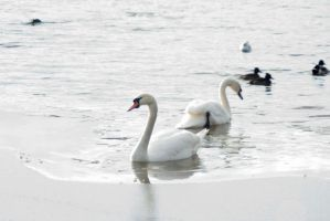Swans and waterbirds 1 by steppelandstock