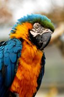Blue and Yellow Macaw by Shadow-and-Flame-86