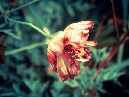 Withering by marieceleste
