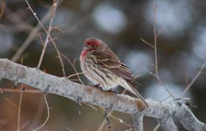 House Finch - 0219 by OpalWildPhotography