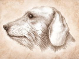 Wirehaired Dachshund by Kwazar