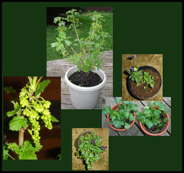 Currant Project - Early Spring by ChibiMethos
