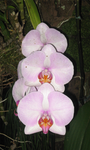 Orchid Stock by berry-stock
