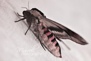 Privet Moth by SianMurrell