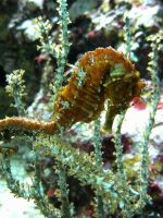 Seahorse Camouflage by FicktionPhotography