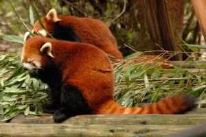 Red pandas at Chongqing by wildplaces