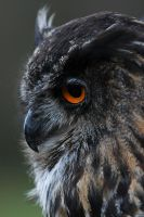 Eagle Owl IV by Schoelli