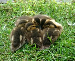 Ducklings Huddled Together by Michies-Photographyy