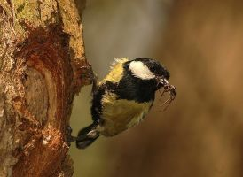 Great Tit by A2812