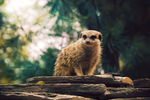 Meerkat Scout by TammyPhotography