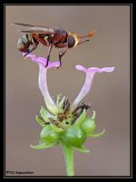 Fly on Flower by sapog