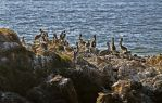 More Pelicans by PaulWeber