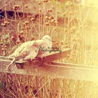 Doves by AniekPhotography