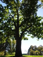 The Tree We Laid Under by BengalTiger4