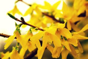 Crying Yellow Blossoms by engravedwithMusic