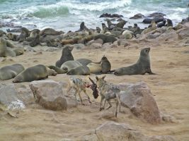 Wild Dogs and Seals II by Jenvanw