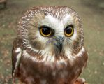 Little Round Brown Owl by Ciameth