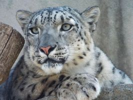 Snow Leopard'5 by SheltieWolf