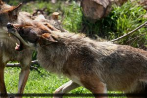 European Wolf 257 by Canisography