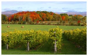 Quebec Vineyard by Rebacan