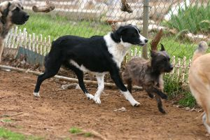 Border Collie Stock [Tex] by HPsCopperMoments